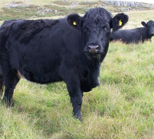 Welsh_Black_Cattle_Aberdare_Blog