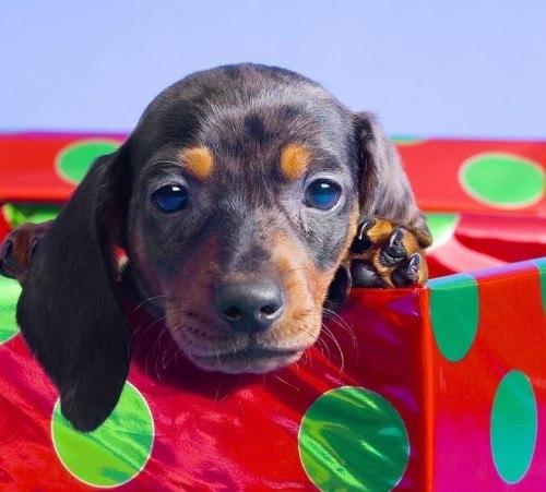 dachshund-puppy-in-gift-box-corey-hochachka