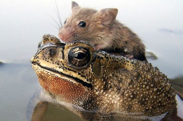 rat-in-trouble-finds-an-unlikely-ally-in-a-fat-toad__605