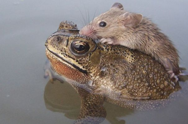 rat-in-trouble-finds-an-unlikely-ally-in-a-fat-toad-3__605