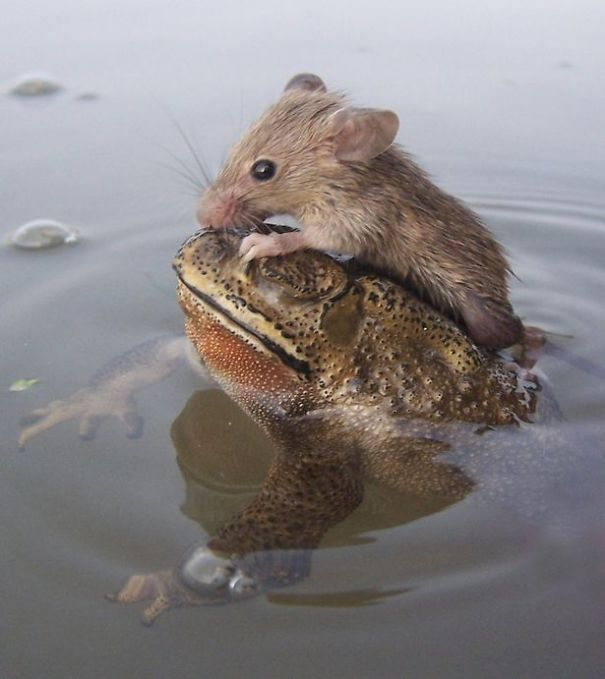 rat-in-trouble-finds-an-unlikely-ally-in-a-fat-toad-2__605