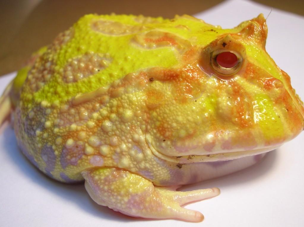Ceratophrys_ornata_(Pacman_Frog)