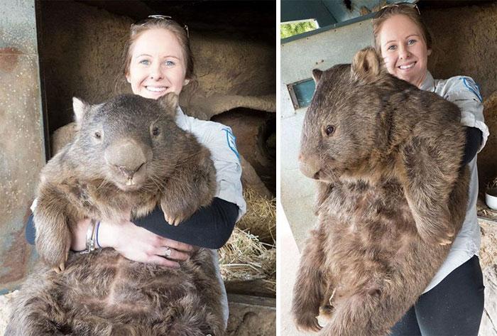 Fullvaxinn vambi (e. Wombat) - ástralskt dýr