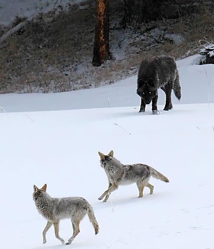 Sléttuúlfar (coyote) og úlfur